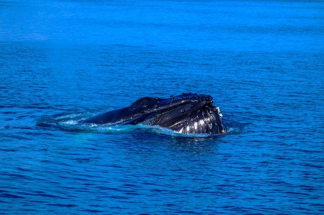 Der Blauwal. Größtes Tier der Welt.